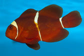 Maroon or Spine Cheeked Clownfish (Premnas biaculeatus) — Stock Photo