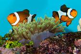 Clownfish Pair — Stock Photo
