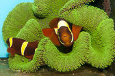 Maroon Yellow Stripe Clownfish (Premnas apigramma) — Stock Photo