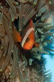 Tomato Clownfish (Amphirion frenatus) — Stock Photo