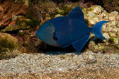 Or Redtooth Triggerfish — Stock Photo