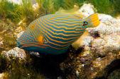 Orange Lined Trigger Fish — Stock Photo