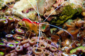 Scarlet Skunk Cleaner Shrimp in Aquarium — Stock Photo
