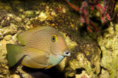 Surgeonfish or Tang in Aquarium — Stock Photo