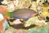 Six Lines Wrasse — Stock Photo