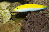 Yellow and Purple Wrasse in Aquarium — Stock Photo