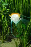Gold Veil Angelfish — Stock Photo