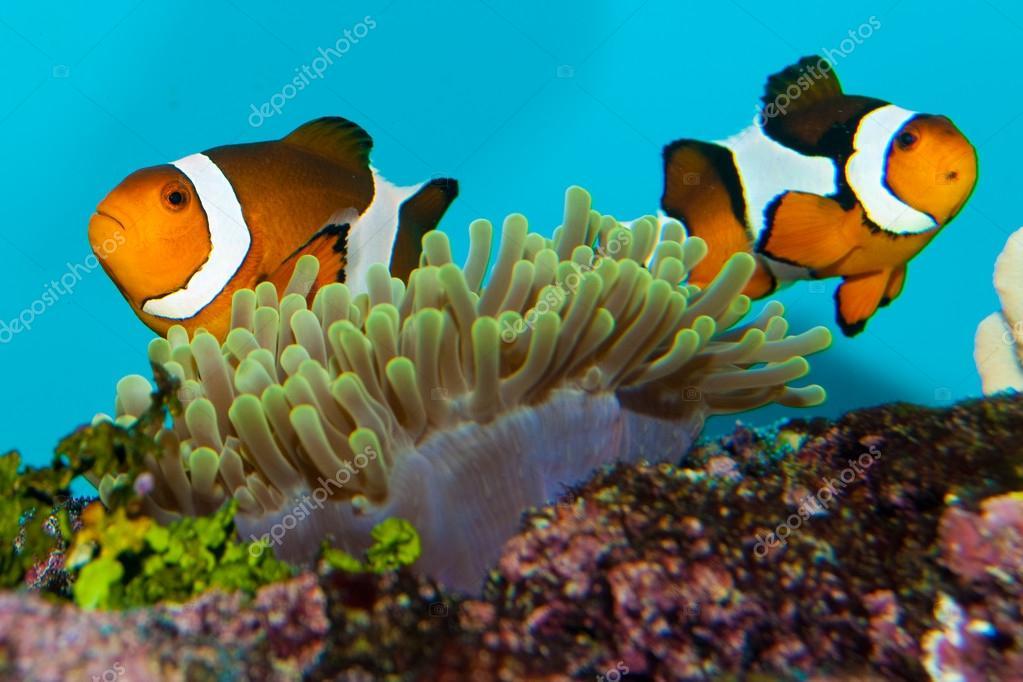 Coppia di pesci pagliaccio foto stock iliuta 14144737 for Immagini pesce pagliaccio