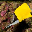 Stock Photo: Yellow Longnose Butterfly in Aquarium