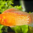Stock Photo: Red Sailfin Molly in Aqaurium
