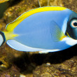 Stock Photo: Blue Powder Tang in Aquarium