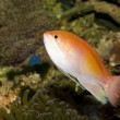 Anthias Fish in Aquarium — 图库照片