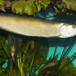 Silver Arowana in Aquarium — Stock Photo