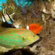 Dusky Wrasse in Aquarium - Stock Photo