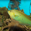 Dusky Wrasse in Aquarium — Photo