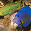 Purple Tang in Aquarium — Foto Stock