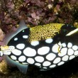 Clown Triggerfish in Aquarium — Stock Photo #14150892