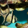 Stock Photo: Kaudern's Cardinalfish in Aquarium