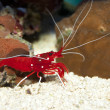 Stock Photo: Fire or Debelius Shrimp (Lysmatdebelius)