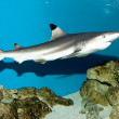 Stock Photo: Balctip reef shark