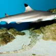 Balctip reef shark — Stock Photo