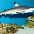 Stock Photo: Blacktip Reef Shark