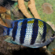 Sergeant Major Damsel Fish (Abudefduf saxatilis) — Stock Photo