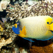 Blueface or Yellowface or Yellowmask Angelfish (Pomacanthus xant — Stock Photo #14151941