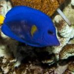 ������, ������: Red Sea Purple Tang Zebrasoma xanthurum