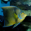 Koran Angelfish (Pomacanthus semicirculatus) — Stock Photo