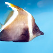 Phantom Bannerfish (Heniochus pleurotaenia) — Stock Photo