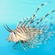 Stock Photo: VolitLionfish Displaying