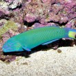 Lunare Wrasse in Aquarium - Stockfoto