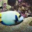Emperor Angelfish - Stock Photo