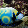 Stock Photo: Emperor Angelfish