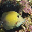 Yellow Scopas Tang - Stock Photo