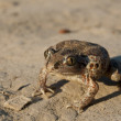 Common Spadefoot — Stock Photo #14154114
