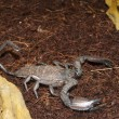 Thick Tailed Scorpion (Tityus sp.) - Stock Photo