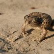 Common Spadefoot — Stock Photo #14154210