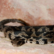 Rock Viper — Stock Photo #14154313