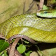 Red Tailed Green Snake — Stock Photo #14154465