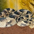 Puff Adder — Stock Photo #14154468