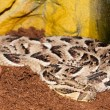 Puff Adder — Stock Photo #14154498