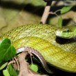 red tailed green ratsnake — Stock Photo