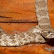 Stock Photo: Texas Diamondback Rattlesnake
