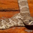 Diamondback Texas Rattlesnake — Stock Photo #14154641