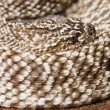 Uracoan Rattlesnake — Photo