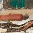Sudan Plated Lizard in terrarium - Stock Photo