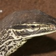 Sand Goannportrait — Stock Photo #14157397