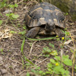 Spur Thighed Tortoise or Greek Tortoise — Stock Photo
